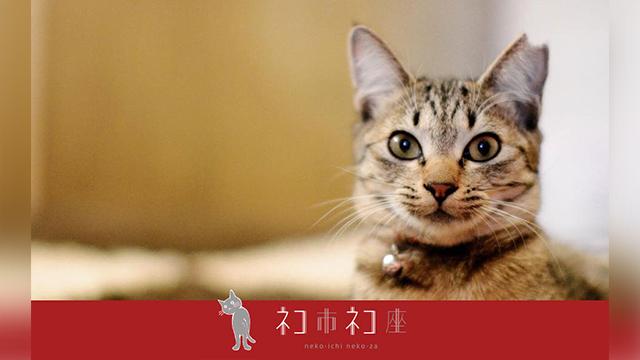 この写真の子の左耳のように耳に切れ込みが入った猫が「さくら猫」です。
